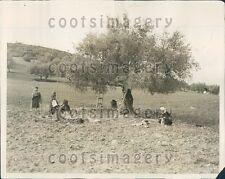 1929 Harvesting Olive Groves Hamman Meskoutine Algeria Press Photo