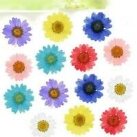 12X Pressed Flowers Daisy Dried Flowers Scrapbooking DIY Preserved Flower Decor