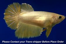 Gold female Halfmoon Tropical betta fish #B048/ 3.5 mo/body size 1.5''