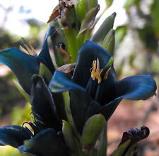 Puya alpestris - The Sapphire Tower - 10 Seeds