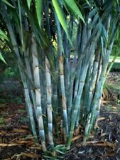 50 Rare Blue Bamboo Seeds Privacy Plant Garden Clumping Exotic Shade Screen 383