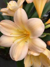 Clivia miniata yellow flush peach Plug Plant x 1. UK National Collection holders