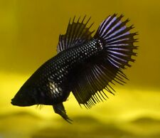 10 (ten) Assorted Betta Crowntail Females (Siamese Fighting Fish)
