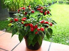 HOT RED HABANERO PEPPER Capsicum Chinense 10 Seeds
