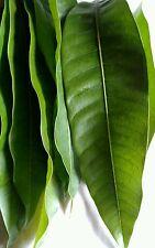 30+ Fresh Organic Mango leaves for tea ,cooking. & Alternative Natural medicine