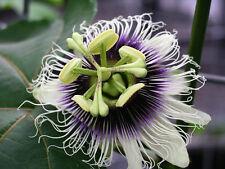 20 Semillas-Passiflora Edulis curubo -