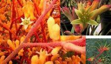 das KÄNGURU-PFÖTCHEN - eine putzige Pflanze - niedlich