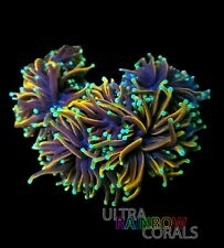 Ultra Rainbow Corals - Blue Tipped Indo Gold Torch - WYSIWYG - Coral - Frag -