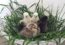 Fancy Show Silkie Bantam fertile assorted colors 6 chicken hatching eggs +extra