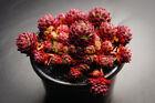 Rosularia Platyphylla - Succulent rare Plant (XS)(w/pup)