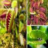 50Pcs Muscipula Dionaea Venus Flytrap Carnivorous Plant Flower Seeds Hot