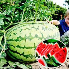 Watermelon seeds Bogatyrsky 1 g Ukraine Giant XXL S0883