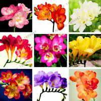 100 PCS Seeds Mix Color Freesia Bulbs Flowers Bonsai Orchid Rhizome Plants 2019