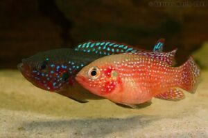 Red Jewel cichlid breeding pair two and a half to 3 in