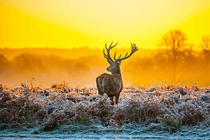 STUNNING SCOTTISH HIGHLAND RED STAG CANVAS #20 QUALITY WILDLIFE WALL ART A1