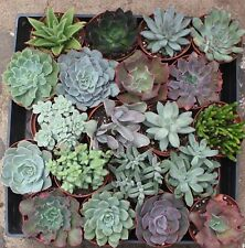 "JIIMZ 20 Succulents 4"" potted"