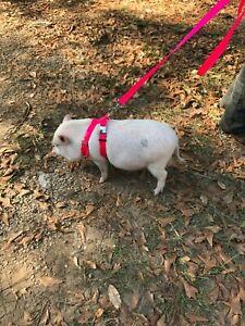 Adjustable Hog  (PIG) Harness 2 Metal Buckle Balanced Carter Pet Supply