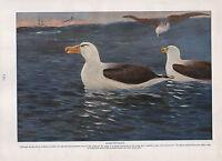 1911 Natural History Doble Costado Estampado ~ Grebe Storm-Petrel Puffin /