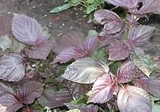 Shiso rojo  Perilla frutescens  purpurea medicinal 300 semillas seeds graines
