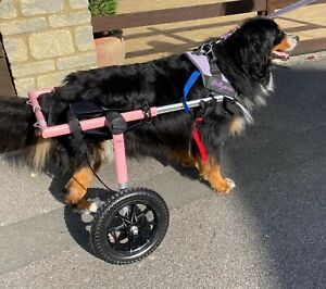 A Adjustable Pink Walkin' Wheel Wheelchair for A Large Dog From Handicapped pets