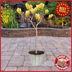 Magnolia Yellow Bird - Tulip Tree 5L Pot HALF STANDARD 60-75cm tall