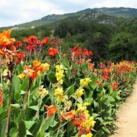 10 Seeds Canna indica Lily Rare Kinds Beautiful Flowers Bonsai Plants in Garden