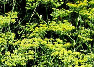 200 Samen Echter Fenchel (Foeniculum vulgare), Gewürzpflanze, Tee, Bienenweide