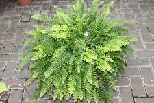 Indoor Plant - Nephrolepsis- Boston Fern -Bushy House Plant Approx 40cms Tall