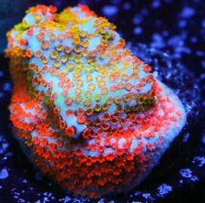 New listing Cornbred's Ultimate Rainbow Monti - Frag - Live Coral