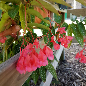 Begonia Angel Wings ** Pink Flowers ** Spotty Foliage ** 1 Plant