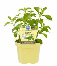 Süßkraut - Stevia rebaudiana - 50 Frische Samen