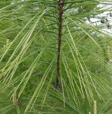 Eastern White Pine (Pinus strobus)Tree,Starter Seedlings 3 Live Plants/Seedlings