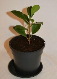 Ficus Microcarpa Chinese Malayan Banyan Plant