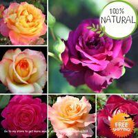 Rose Flower Bonsai Seeds Plants Rainbow Petals For Garden Rare Home 100pcs