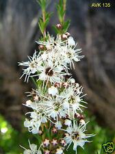 Burgan/Kanuka Kunzea ericoides Native Shrub Seed Hardy White Flower to 5 metres.