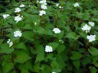 10 Fish Mint Houttuynia Cordata Chameleon Diếp Cá antiviral live plant rhizome