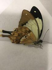 Papilio dardanus ssp Meriones Male from Madagascar