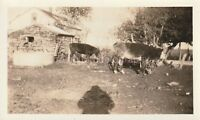 SHADOW AND COWS Vintage FOUND PHOTO bw FREE SHIPPING Original Snapshot 810 3