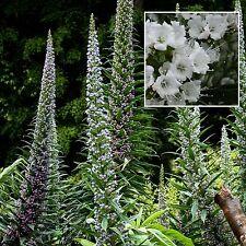 Weißer Riesen-Natternkopf•15 Samen/seed •Echium pininana 'Snow Tower'•bis zu 4 m
