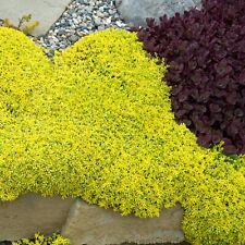 New listing sedum Yellow stonecrop, 5 Live Plants! cannot hold, must ship immediate! GroCo@
