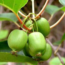 Actinidia arguta Issai KIWI FRUIT VINE Exotic SEEDS!