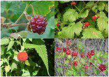 100Pcs Seeds Raspberry Malina Edible Fruit Rubus idaeus Rare Kinds Bonsai Plants
