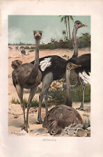1895 VICTORIAN NATURAL HISTORY PRINT ~ OSTRICHES
