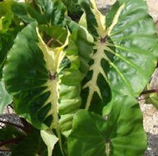 "Colocasia plant ""White Lava"" elephant ear live plant"