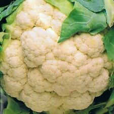 Vegetable Cauliflower Autumn Giant Appx 600 seeds