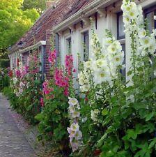 30+ Hollyhock Indian Spring, Alcea Rosea, Heirloom Single & Double Flower Seeds