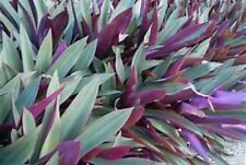 ORGANIC Oyster Plant Rhoeo Spathacea (Moses In-The-Cradle)Colorful Dwarf 10""