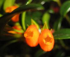 1 Goldfish  Unrooted cutting plant ~ Orange flower