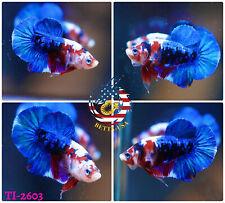 New listing [Ti-2603] Liv 00006000 e Betta Fish High Quality Hmpk Male Red Blue Galaxy Koi