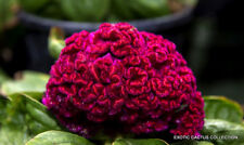 EXOTIC CELOSIA CRISTATA CRESTED rare pink flowering amish cock's comb 15 seeds